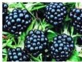 Полезные свойства ягод при раке