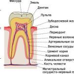 строение -зуба