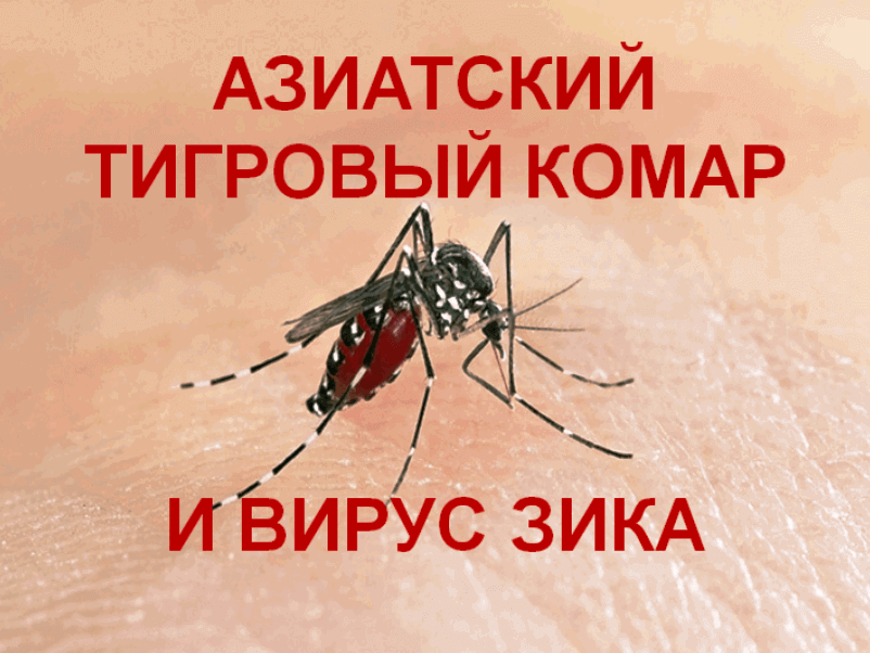 The-Asian-tiger-mosquito-and-Zika-virus